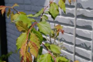 昨年は葉っぱは出ました。