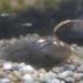 ④貝の隔離と孵化